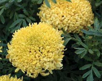 Tall Sierra Yellow Marigold Flower Seeds/Tagetes Erecta/Annual    50+