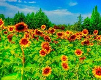 Sunflowers photo,Italy photos, fine art photo,wall art, Tuscany photos ,