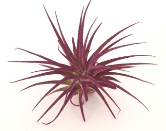 Air Plant Ionantha , Tillandsia , Great Plant for Terrariums , Planters , Gardens , Purple Plant ,  Home Decor , Purple Decor