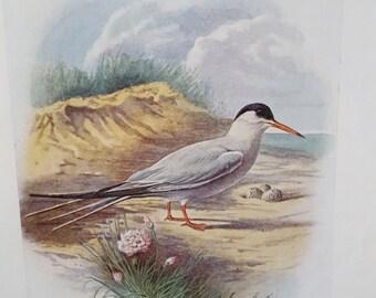 Antique Book Print, Bird Print, Common Tern, George Rankin c1910 Original Lithograph