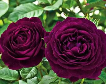 Fresh Exotic Purple Rose Bush Flower Seeds  Pack 50 Seeds  Light Fragrant Garden Flowers