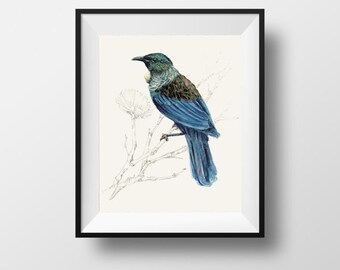 New Zealand native bird Tūi, illustrated Large print, from original watercolor and ink painting artwork, Wild life wall art