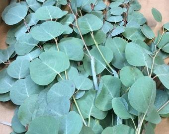 Silver Dollar Eucalyptus Bunches