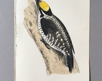Antique Bird Print from 1890 of a three-toed woodpecker, great gift for ornithology lovers.