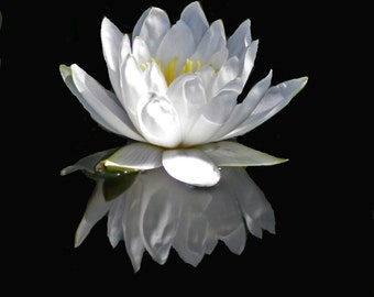 8 x 10 glossy print of water lilly