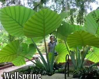Colocasia gigantea - Thailand Giant Thai Giant Elephant Ear Live Plant