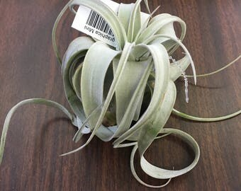 Xerographica Mini Air Plant