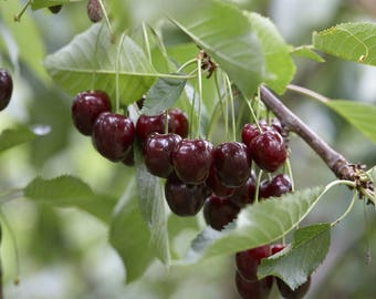 CHERRY TREE - Multi-Variety Fruit Tree - CHERRY - 5 varieties on one Tree!