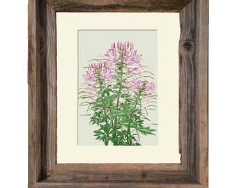Spider Flower-Cleome- Framed- Barnwood