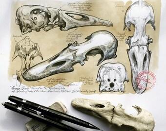 Duck Skull Drawing - Original Artwork