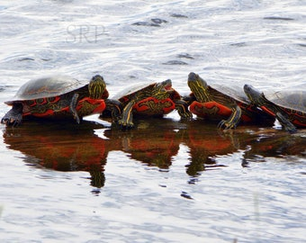 And Then I Said... - PHOTO PRINT - Painted Box Turtles