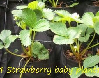 4 Strawberry Baby Plants