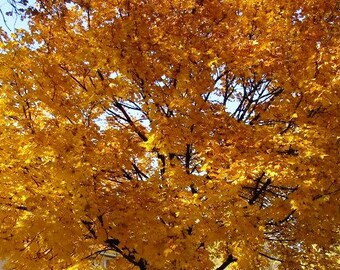 8 Unrooted Live Norway Maple Cuttings 8 to 12 inches tall, Beautiful Yellow Fall Foliage, Instructions included