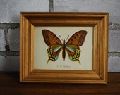 French nature print butterfly print Le P. Machaon small gold frame Le Papillion