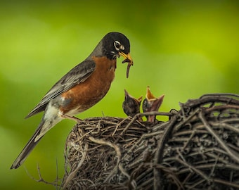 Robin feeding it's young babies in a nest with a worm in Michigan No.36732 Fine Art Bird Nature Photography