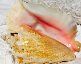 """Vibrant Pink Extra Large Conch Shell 11"""" Natural Sea Queen"""