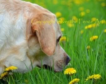 Yellow Labrador in Dandelion Field Photo Greeting Card  Dog Portrait Card