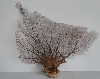 "16"" x 13"" Natural Black Color Caribbean Sea Fan Reef Coral"