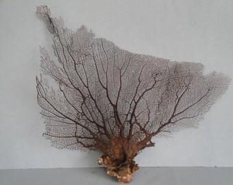 "16"" x 13"" Natural Black Color Caribbean Sea Fan Reef Coral"