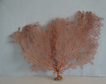 "10.5"" x 8"" Pacifigorgia Red  Sea Fan Seashells Reef Coral"
