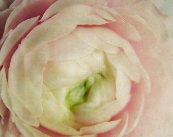 floral nursery art, ranunculus art print, chic flower art, romantic flower art, shabby floral art, girls room decor, pink and white decor