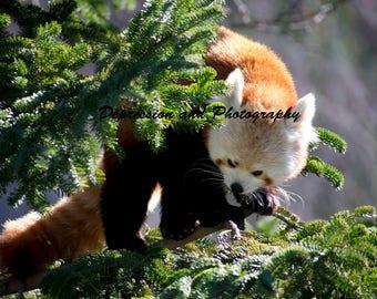 Red Panda Photograph Print