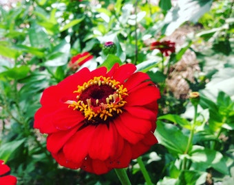 Heirloom Zinnia Seeds, Gift Zinnia, Red Flowers, Great for Cut Flower Gardens and Butterfly Gardens,