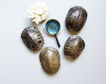 Turtle shells, vintage taxidermy, Taxidermy & Curiosities, red-eared slider shells