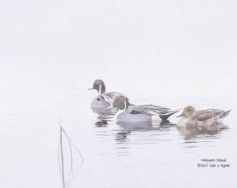wildlife art print, duck print, wildlife wall art, bird art print, wildlife photography, wildlife picture, wildlife painting, wall décor