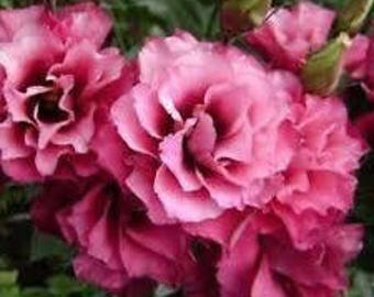 PBLISM)~MARIACHI CARMINE Lisianthus~Seeds!!!~~~~~Lovely Bouquets!!