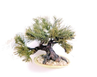 KIT:  Japanese White or Black Pine Bonsai