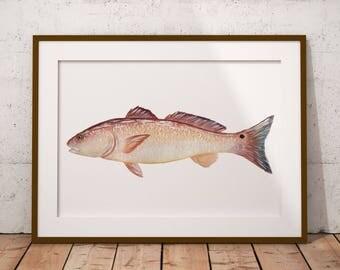 PRINT of Watercolor Redfish Fish Painting