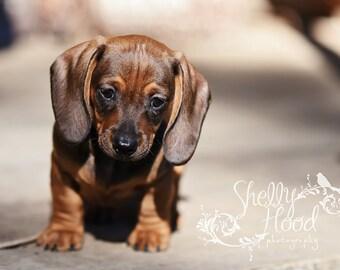 Dog Photography Print - Fine Art Photo Print - Mini Dachshund Wall Hanging - Animal Decor - Living Room Decor - Dog Decor - Puppy Art