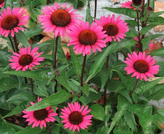 echinacea purpurea seeds fatal attraction perennial. Black Bedroom Furniture Sets. Home Design Ideas