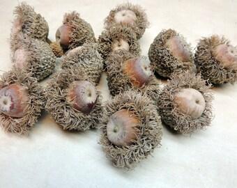 12 Bur Oak Acorns for crafting, Assemblage art, Altered art, Mixed media, Vase filler, Natural History, Botanical decor