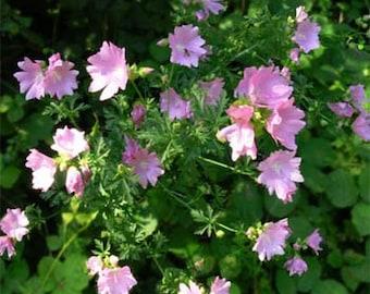 Malva Moschata Rosea-( Hollyhock)- 100 Seeds -