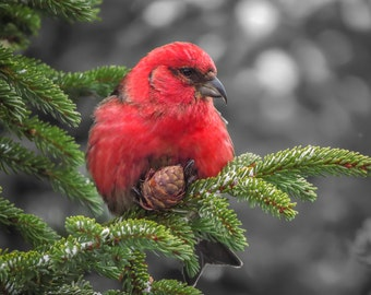 Bird Photography - Crossbill Wall Decor, Selective Color, Red - Fine Art Photo, Nature Print, Wildlife - 067