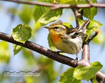 Blackburnian Warbler Photo | Spring Bird Print | Nature Wall Art | Orange Black White | Tropical Songbird | Fire Throat | FeatherWind Studio