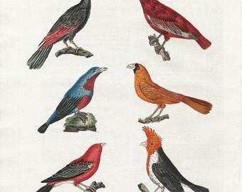 Antique Bird Print, Bird Art, Colorful Bird Art, Audubon Art, Woodpecker Print, Gift for Bird Lover, victorian art, bird specimen