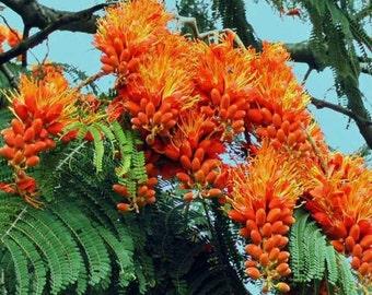 Colvillea racemosa Glory Whip Tree 10 seeds