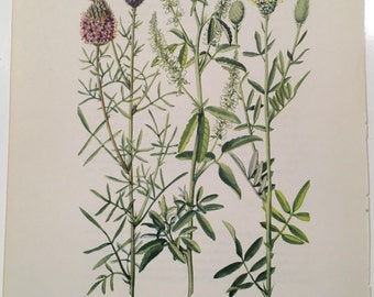 Purple prairie clover, White sweet clover, White prairie clover, Vintage illustration botanical print