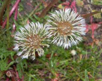 """Digital Download """"Rain Soaked Dandelions"""" Digital Photo"""