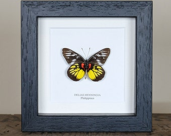 Delias Henningia Butterfly in Box Frame (Philippines)
