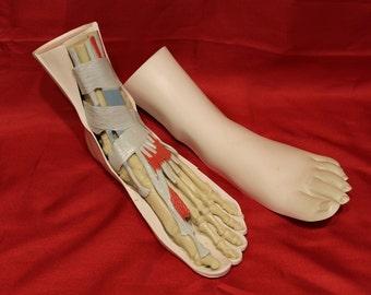 Vintage Merck Human Foot Anatomical Model - See Pics !!!!!