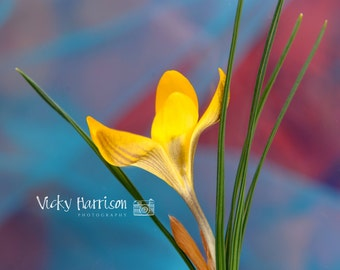 Crocus on red Photograph Print
