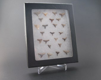 Bone Valley Florida Shark tooth collection / Shark tooth display/ Shark Tooth Lot/ Florida Shark Teeth / Educational Fossils / Fossils /RM-1