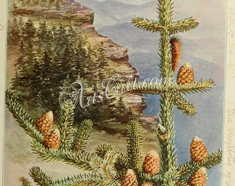 flowers-31595 - Silver Fir, abies fraseri, Fraser fir conifer branch with cones mountain on background cress Christmas ornament printable