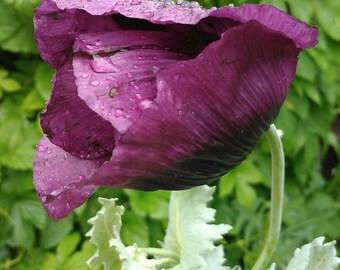 Garden Poppy Flower Seeds, Rare Magenta Purple Poppies, Heirloom Summer Flowers,  FREE SHIPPING IN U.S.