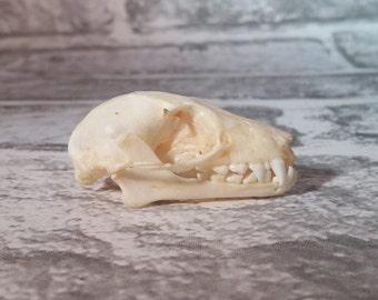 Taxidermy, Bat Skulls, Bat Taxidermy, Gothic, Skull, Skulls, Bone, Real Skull, Curiosity, Bat Skull, Curio, Bat Specimen.