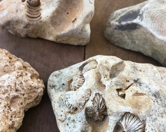6 Piece Fossil Rock Grab Bag Collection:  Geology, Rock Collection, Nature Collection, Nature Study